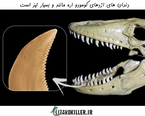 ساختار دندان بزرگترین مارمولک جهان