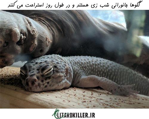 گکو طول روز را در خواب سپری می کند