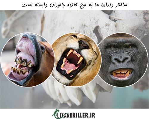 ساختار دندان مارمولک ها نیز مانند سایر جانوران به رژیم غذایی شان بستگی دارد