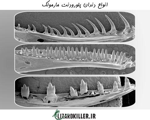 شکل انواع دندان پلورودنت مارمولک ها