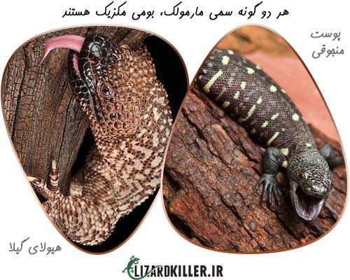 انواع گونه های مارمولک سمی