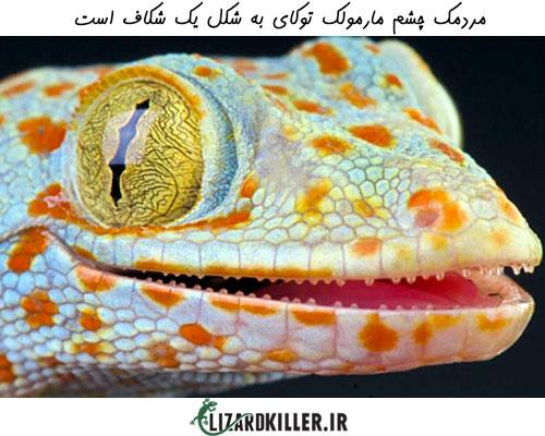 مردمک چشم مارمولک توکای