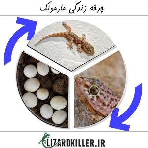 چرخه زندگی مارمولک