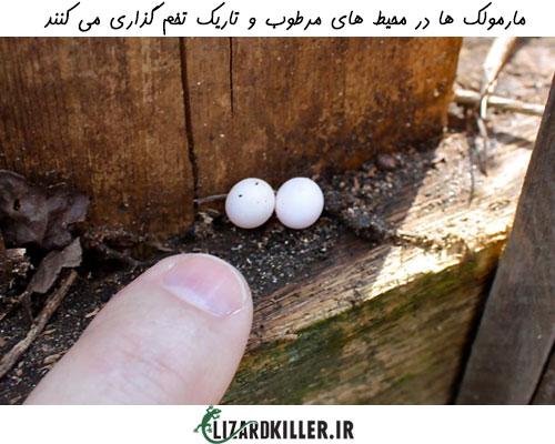 تخم گذاری مارمولک در محیط های تاریک و مرطوب